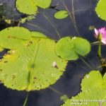 AllEars.Net Photo of the Week lily pad