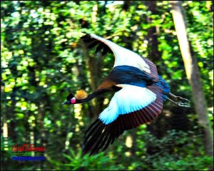 African Crowned Crane Flying