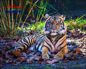 Asian Tiger In Shade