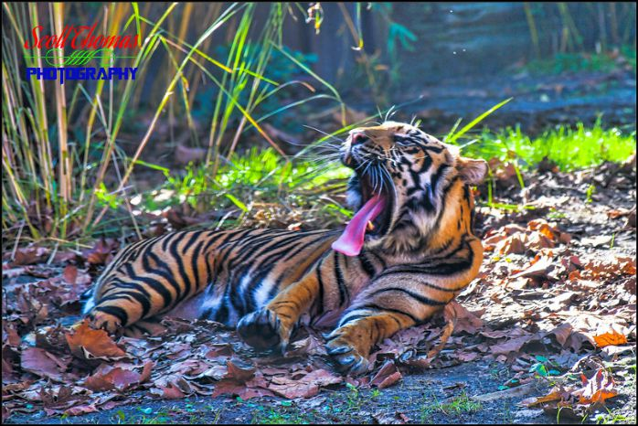Asian Tiger Yawn