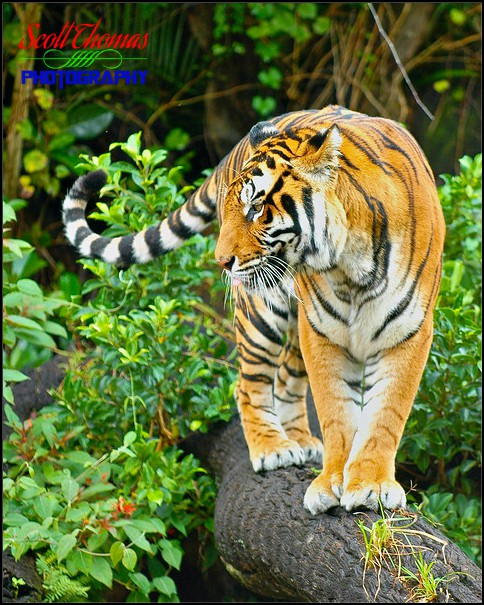 Tiger Creative Background
