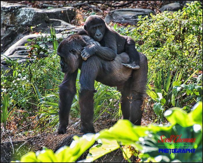Gorillas Creative Interaction