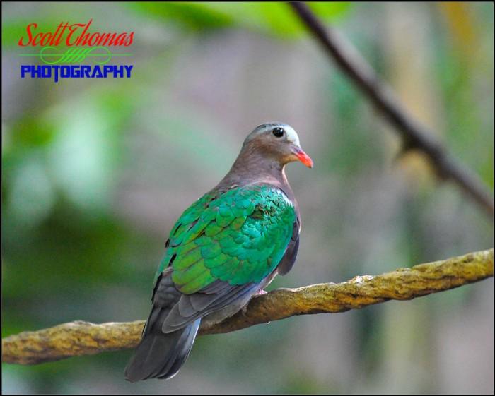 Nicobar Pigeon Creative Wide Open