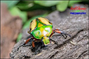 Flamboyant Flowering Beetle