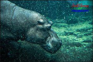 Nile Hippopotamus Underwater