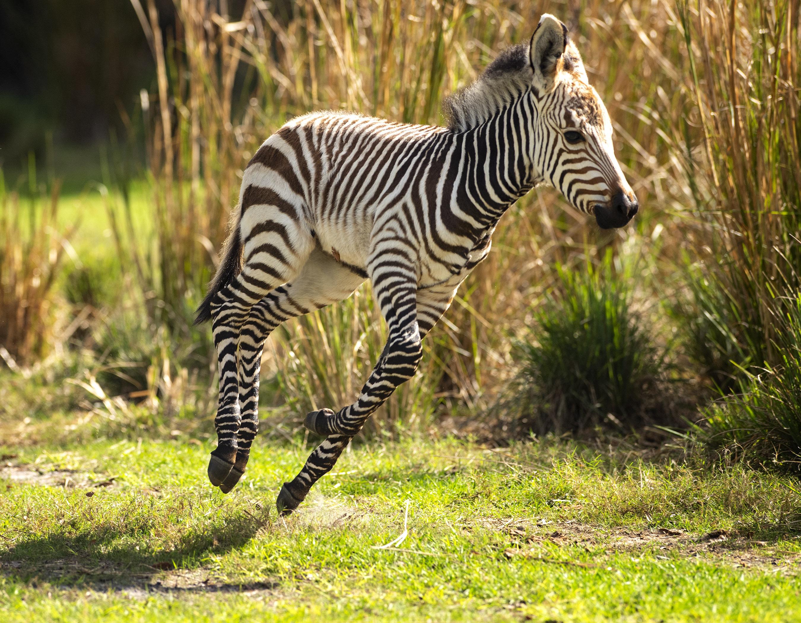 Cute Alert Disney S Animal Kingdom Lodge Welcomes Two New Baby Animals Allears Net