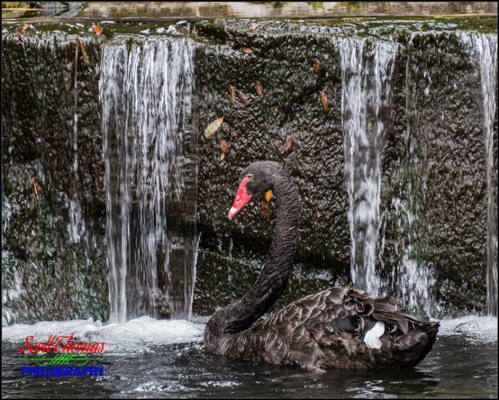 Black Swan Waterfall