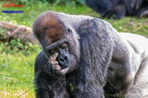Gorilla Sign Language