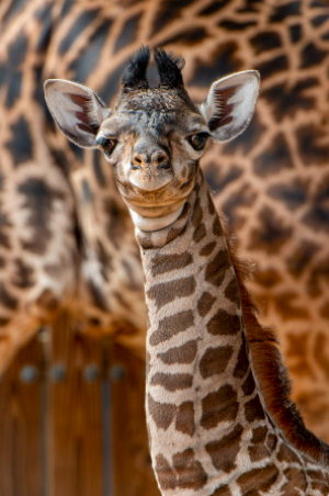 Try Not to Smile at the ADORABLE New Addition to Disney's Animal Kingdom! - AllEars.Net