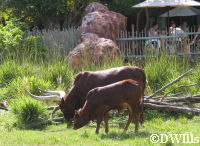 Ankole Cattle - Adult and Baby