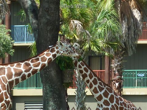giraffes-at-kidani-village.jpg