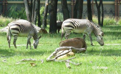 kidani-village-zebras-2.jpg