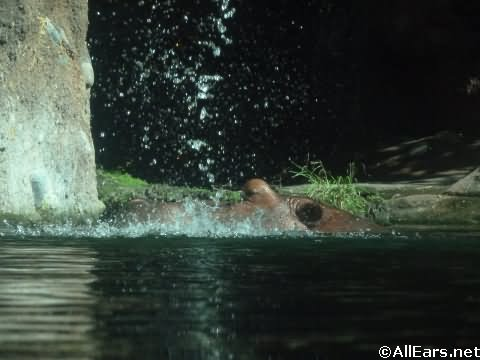 Animal Kingdom Hippopotamus