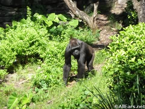 Animal Kingdom Gorillas