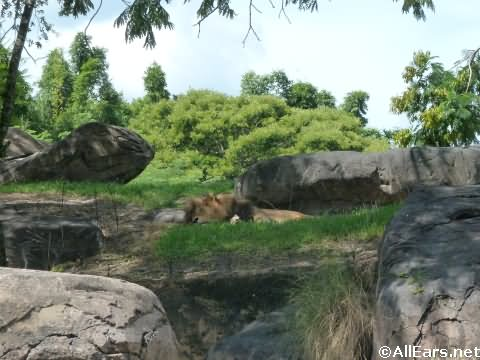 Animal Kingdom Lions