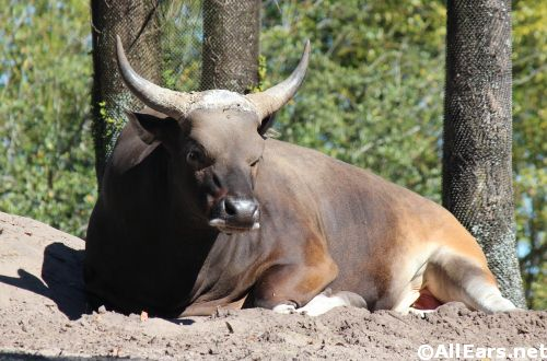 Animal Kingdom Banteng