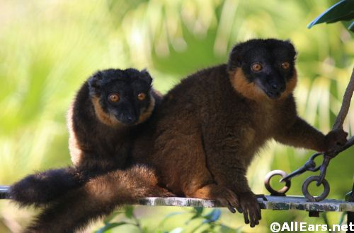 Animal Kingdom Collared Lemurs