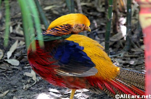 Animal Kingdom Golden Pheasant