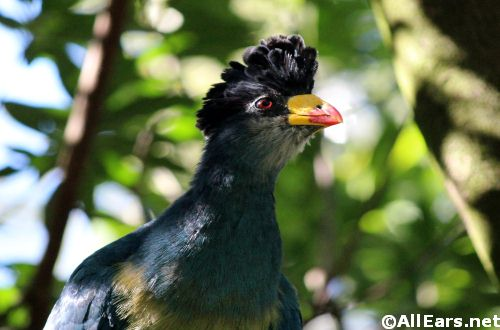 Animal Kingdom <br /> Great Blue Turaco