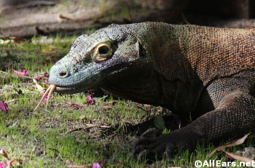Animal Kingdom Komodo Dragon