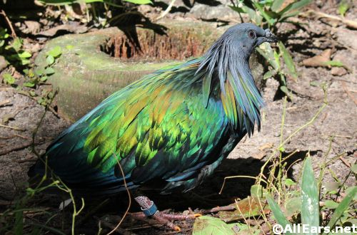 Animal Kingdom Nicobar Pigeon