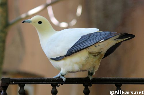 Animal Kingdom Pied Imperial Pigeon