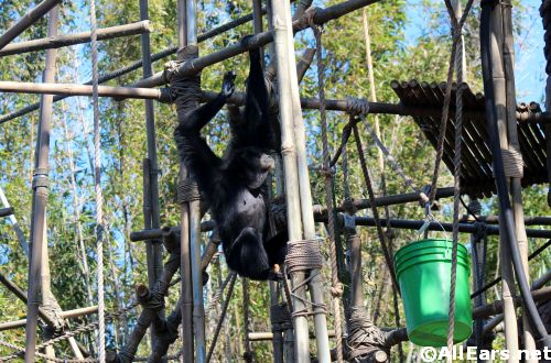 Animal Kingdom Siamang