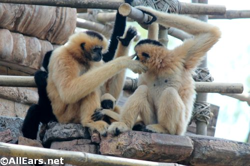 Animal Kingdom White Cheek Gibbons