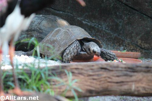 Animal Kingdom Asian Brown Tortoises