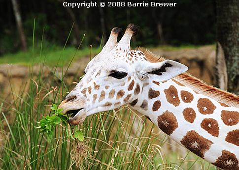 giraffebarrie.jpg