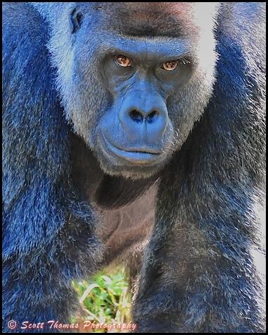gorilla_stare_st.jpg