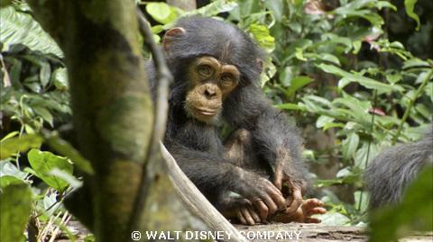 Chimpanzee100.jpg