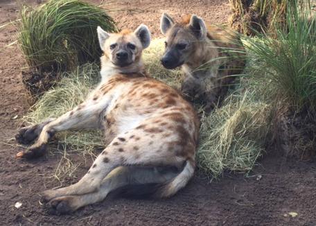 Hyenas-1.jpg