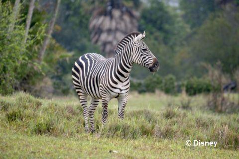 Kilimanjaro-Safari-zebra.jpg