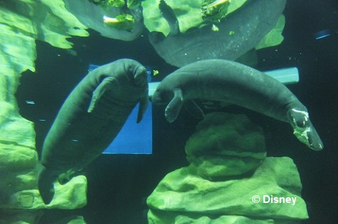 Manatees_in_Epcot.jpg