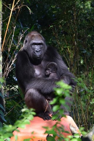 baby-gorilla-0914.jpg