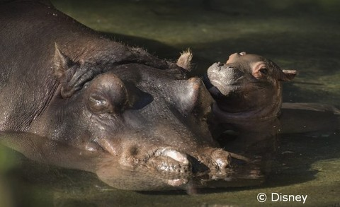 baby-hippo.jpg