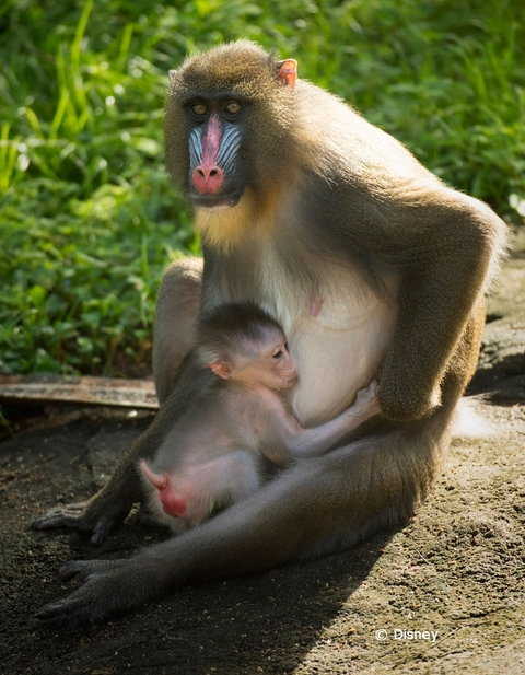 baby-mandrill-animal-kingdom-18-01.jpg