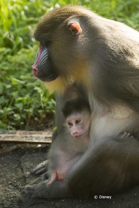 baby-mandrill-animal-kingdom-18-03.jpg