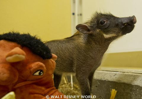 baby-warthog-march2012.jpg