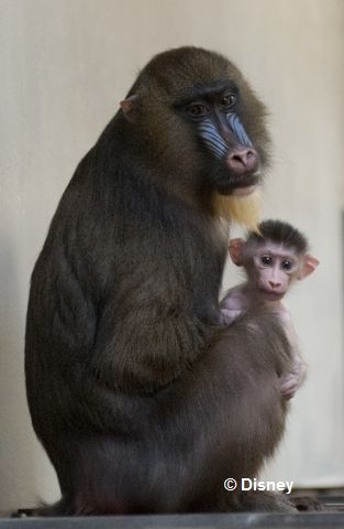 baby_mandrill_and_mother.jpg