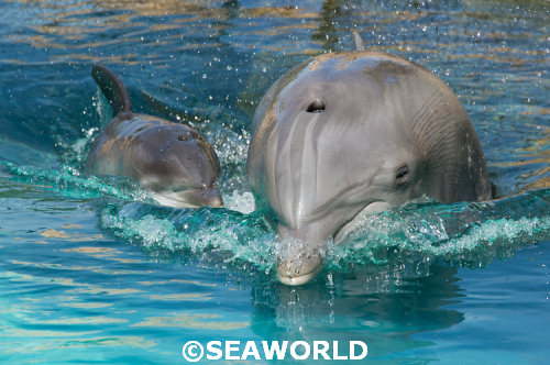 Atlantic Bottlenose Dolphin born at SeaWorld