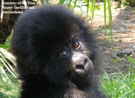 Orphaned Gorilla Ndeze will be among first gorillas at new gorilla rescue center