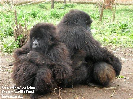 Orphaned Gorillas Maisha and Kaboko at Dian Fossey Gorilla Fund International