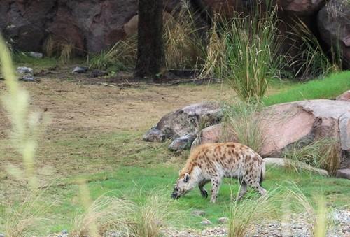 hyenas-2.jpg