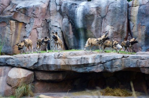 painted-dogs-1.jpg
