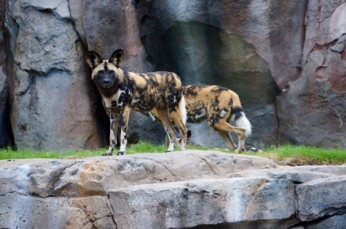 painted-dogs-2.jpg