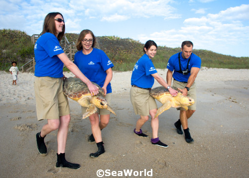 SeaWorld Orlando Returns 14 Sea Turtles to Canaveral National Seashore