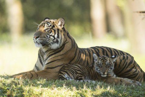 tiger-cubs2.jpg