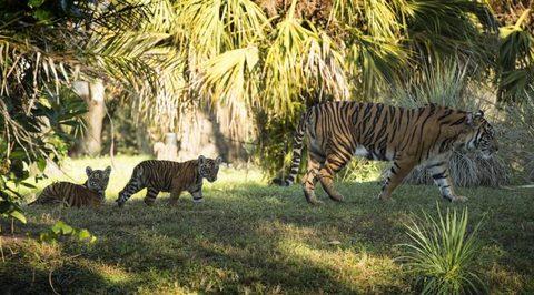 tiger-cubs3.jpg